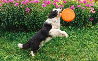 Kako da hranite aktivnog psa?
