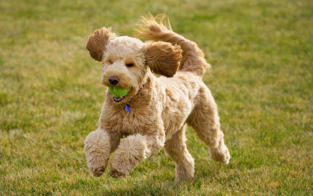 Pas trci sa lopticom u ustima